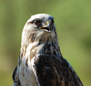 Aspen, Rough-legged hawk