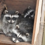 Raccoon kits HC July 2010