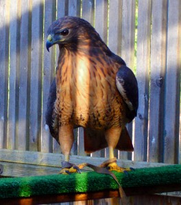 Red-tailed Hawk, Madrona
