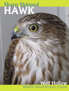 SS Hawk