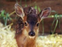 found-fawn