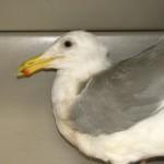 HC adult gull feb 07(2)