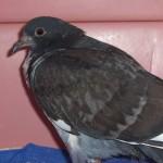HC rock dove W06