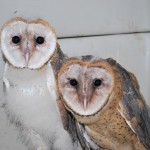 2 barn owls in crate 2009 PH (4)