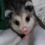 HC opossum 06(3)