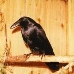 RossL 2002 raven0001