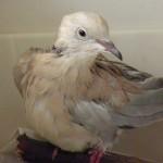 Eurasian Collared Dove VT 2015 (2)