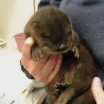 Baby River Otter 2015 SA (2)