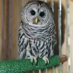 Dana R. 2000 Barred Owl