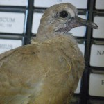 Eurasian Collared Dove youngster April 2012 PH (2)