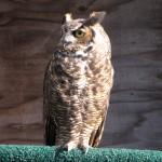 Great Horned Owl HC Sept 2009 (1)