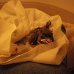 House sparrow nestling PH 2010