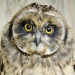 Young Short-Eared Owls SA 2015 (8)