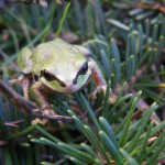 Tree Frog April 2012, PH
