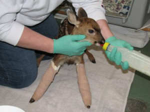 fawn broken forelegs 2009 HC (2)