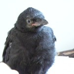 young crow 2014 (6)