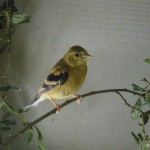 Goldfinch youngster PH 2012