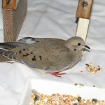 HC mourning dove feb-march 07