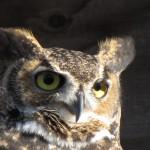 Great Horned Owl HC Sept 2009 (2)