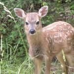 Deer Fawn June 2016 (1)