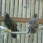 Eagles in Eagle Flight cage 2015 (15)