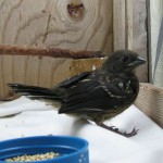 Towhee fledgling, MM 2013