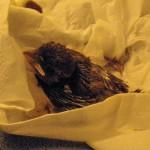 House sparrow nestling 2 PH 2010