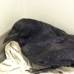 Raven Sept 2016 (1)