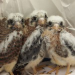 Kestrel Nestlings HC