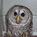 HC barred owl winter 07