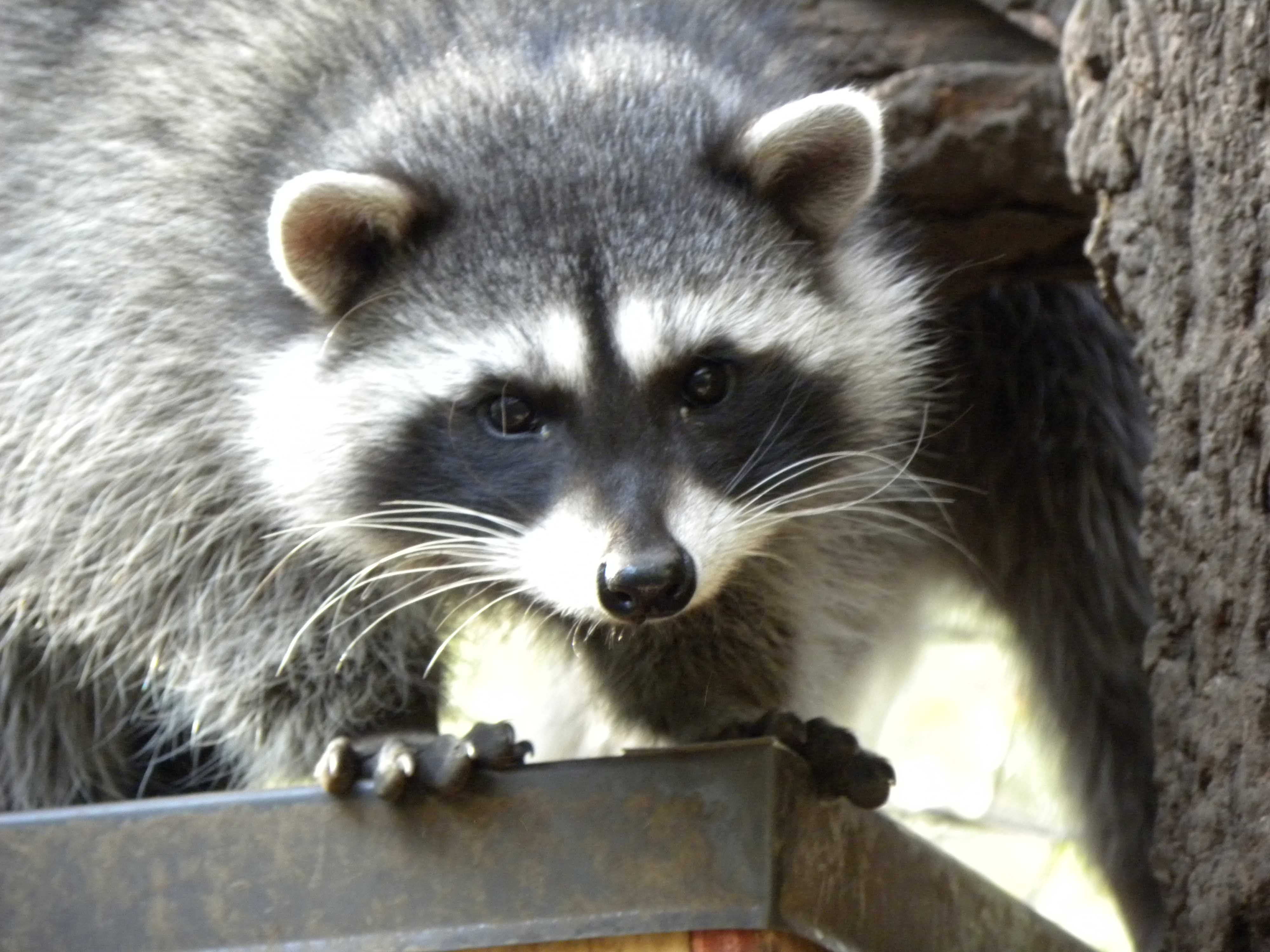Racoon Kits Oct 2016 Crop Wolf Hollow Wildlife